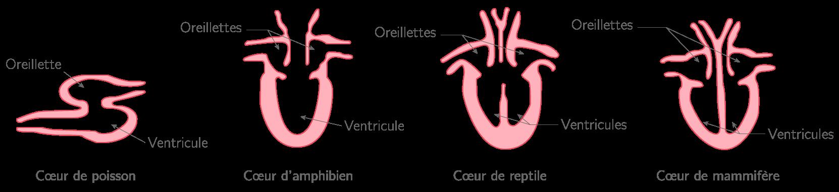 Comparaison du cœur de différentes espèces