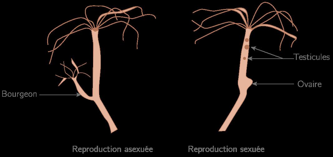 La reproduction de l'hydre d'eau douce