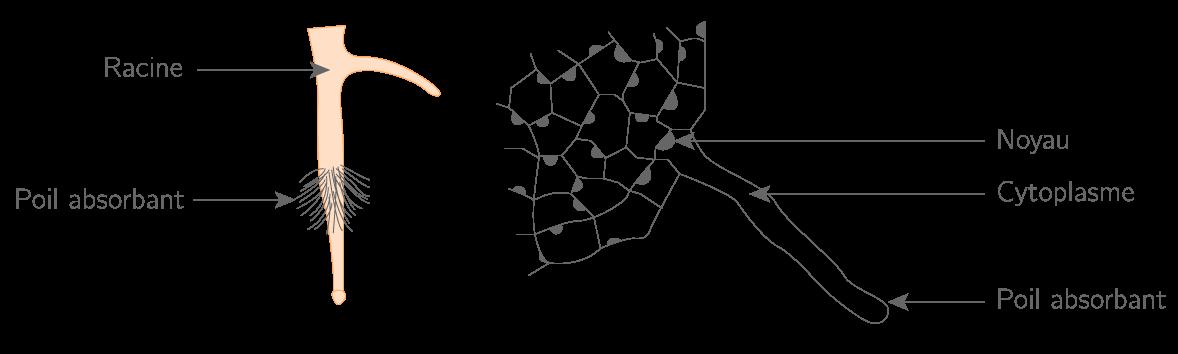 Schéma d'une racine et de ses poils absorbants vus en coupe à droite