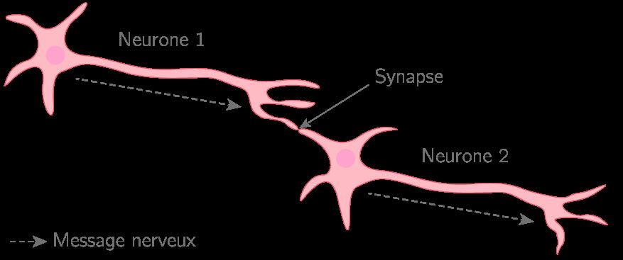La propagation d'un message nerveux entre neurones