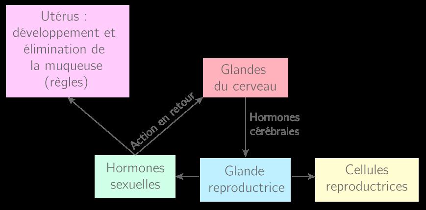 Principe de l'action des hormones dans le fonctionnement reproducteur