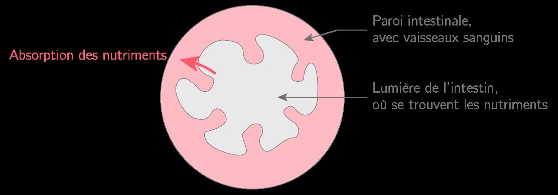 Vue schématique d'une coupe d'intestin