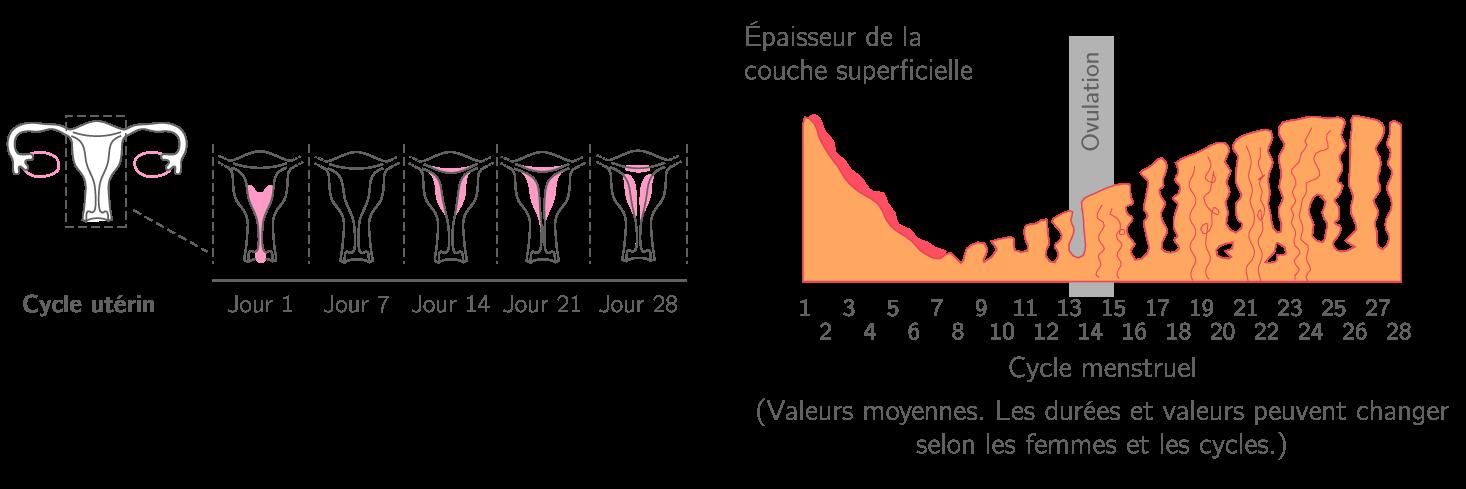 Le cycle de l'utérus chez une femme