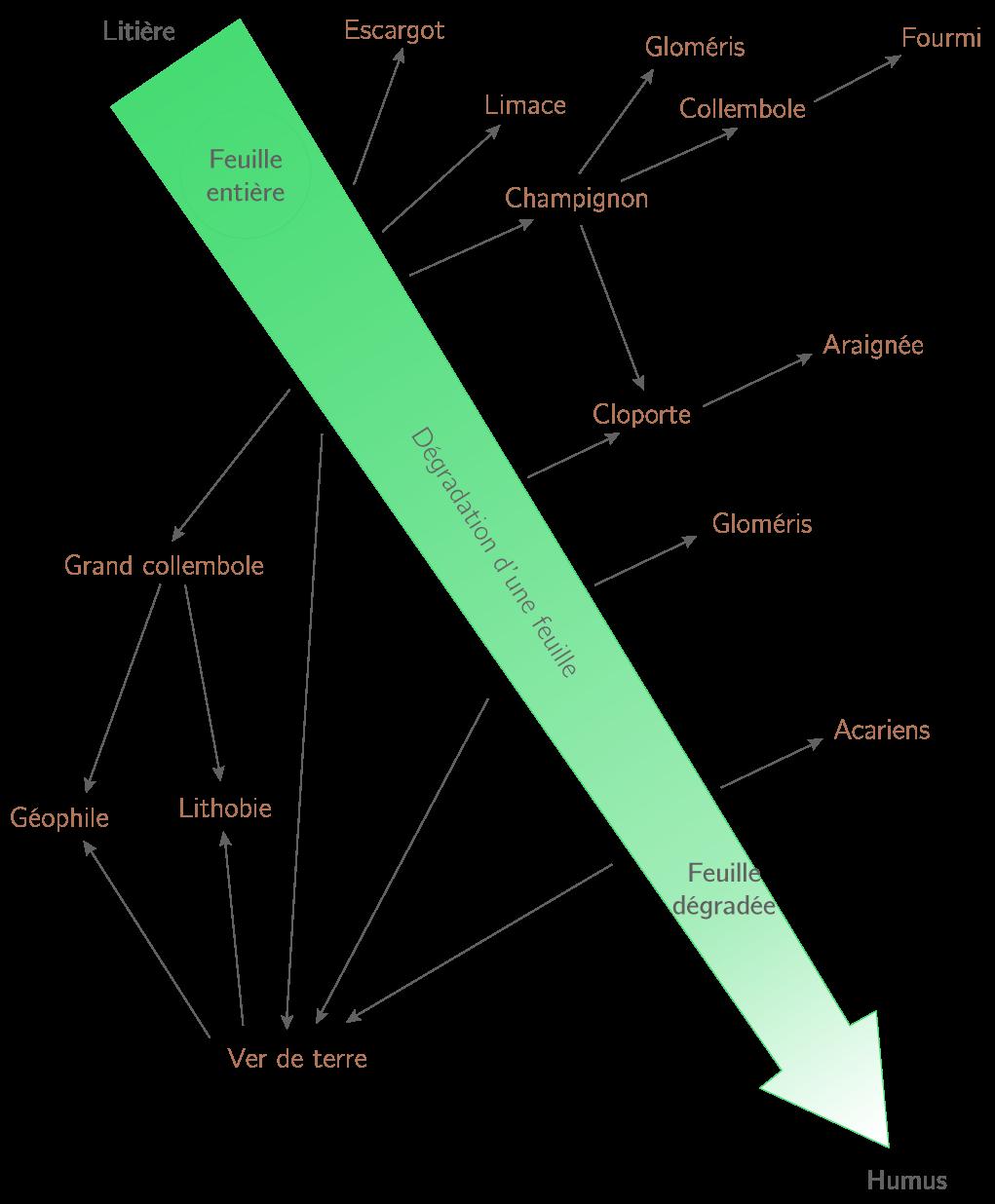 Un exemple de réseau alimentaire permettant la dégradation d'une feuille morte