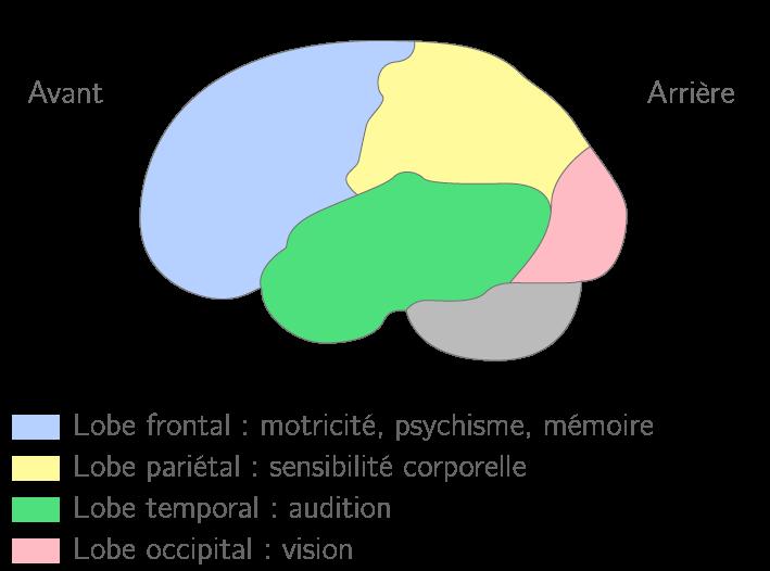 Organisation générale du cortex : vue externe de l'hémisphère gauche