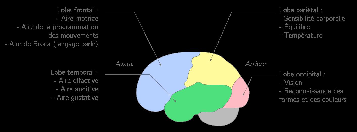 Les lobes du cerveau contenant des aires spécialisées dans diverses fonctions
