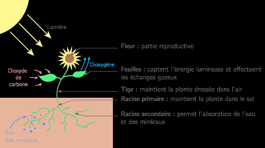Schéma d'une plante produisant de la matière organique