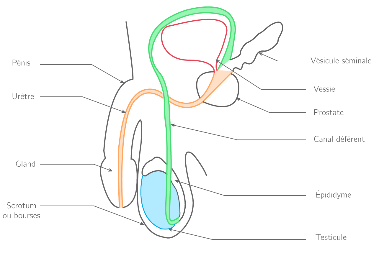 Schéma (vu en coupe de profil) de l'appareil génital masculin