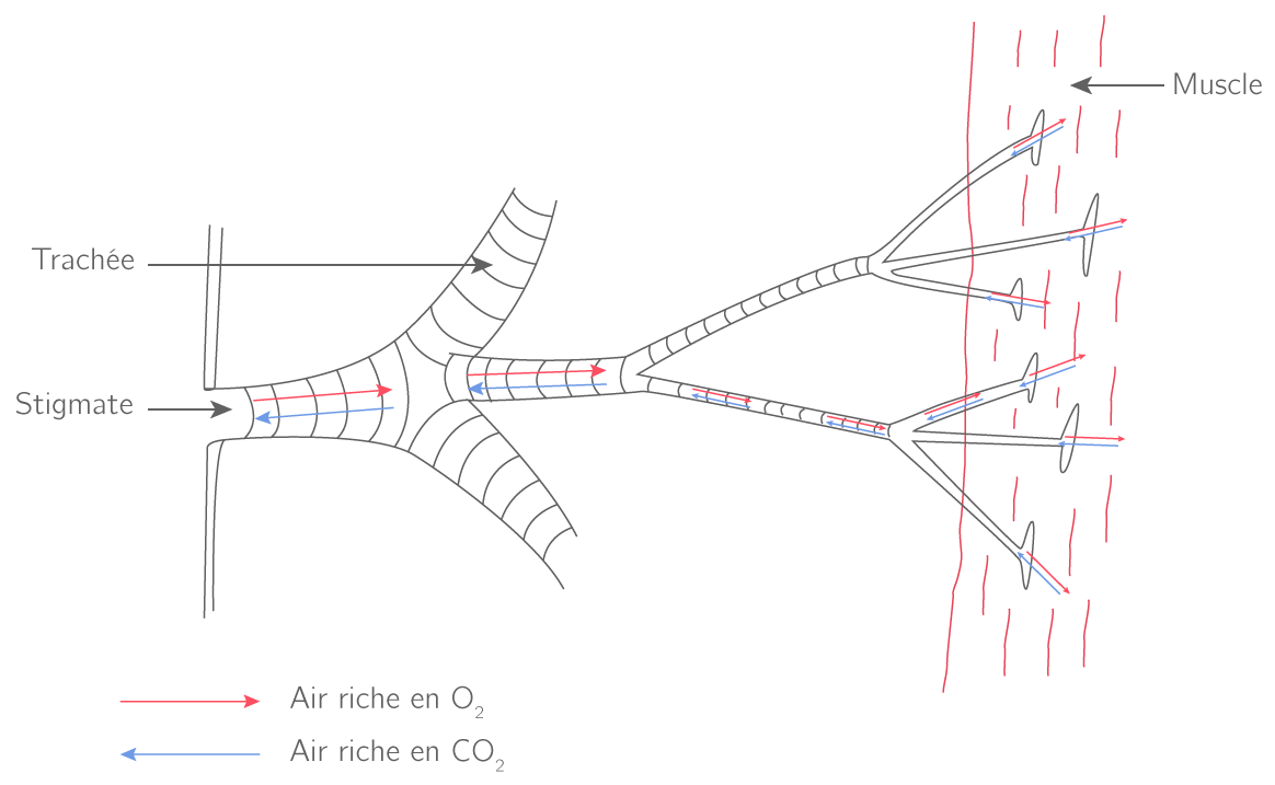 Les échanges gazeux respiratoires chez le criquet