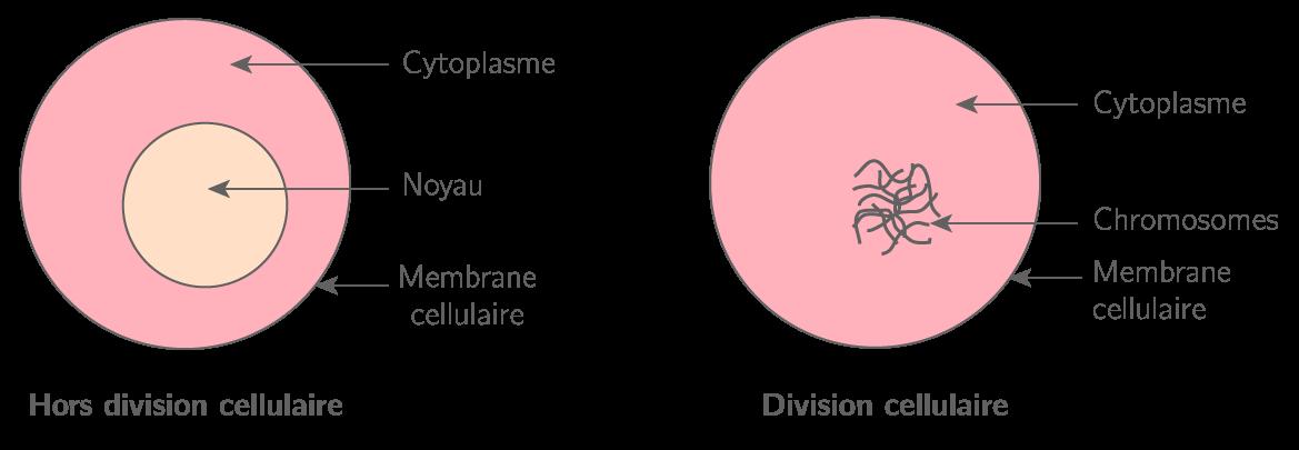 Schéma d'une cellule humaine à deux moments différents