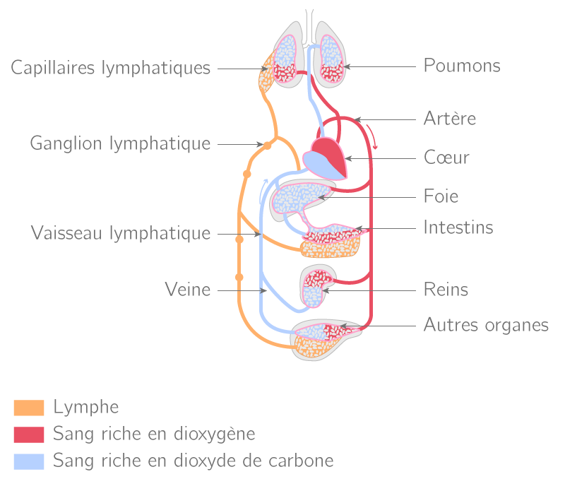 Circulations sanguine et lymphatique