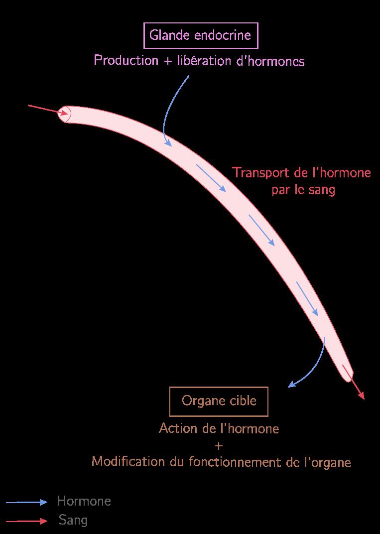 Schéma fonctionnel du mode d'action d'une hormone