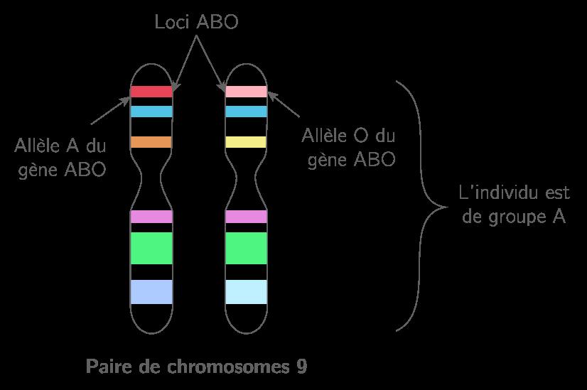 Schéma des chromosomes pour le groupe sanguin chez l'humain