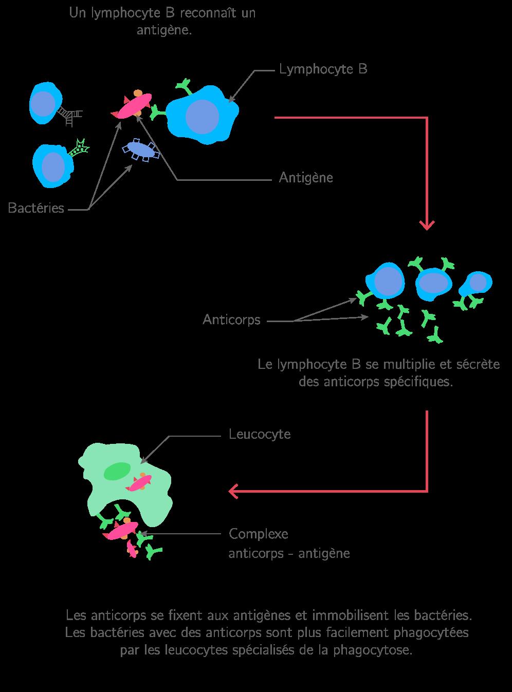La réponse immunitaire spécifique mise en place par les lymphocytes B et les anticorps