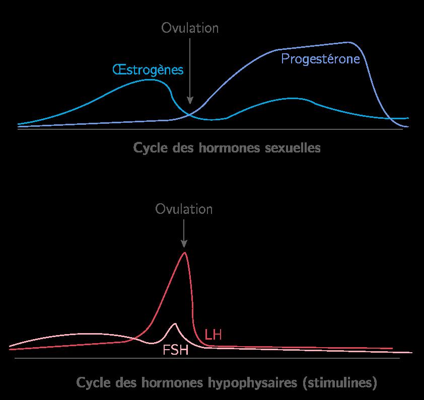 Cycle des hormones chez la femme