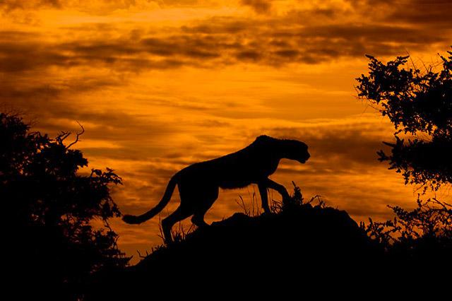 Silhouette d'un guépard, Arturo de Frias Marques