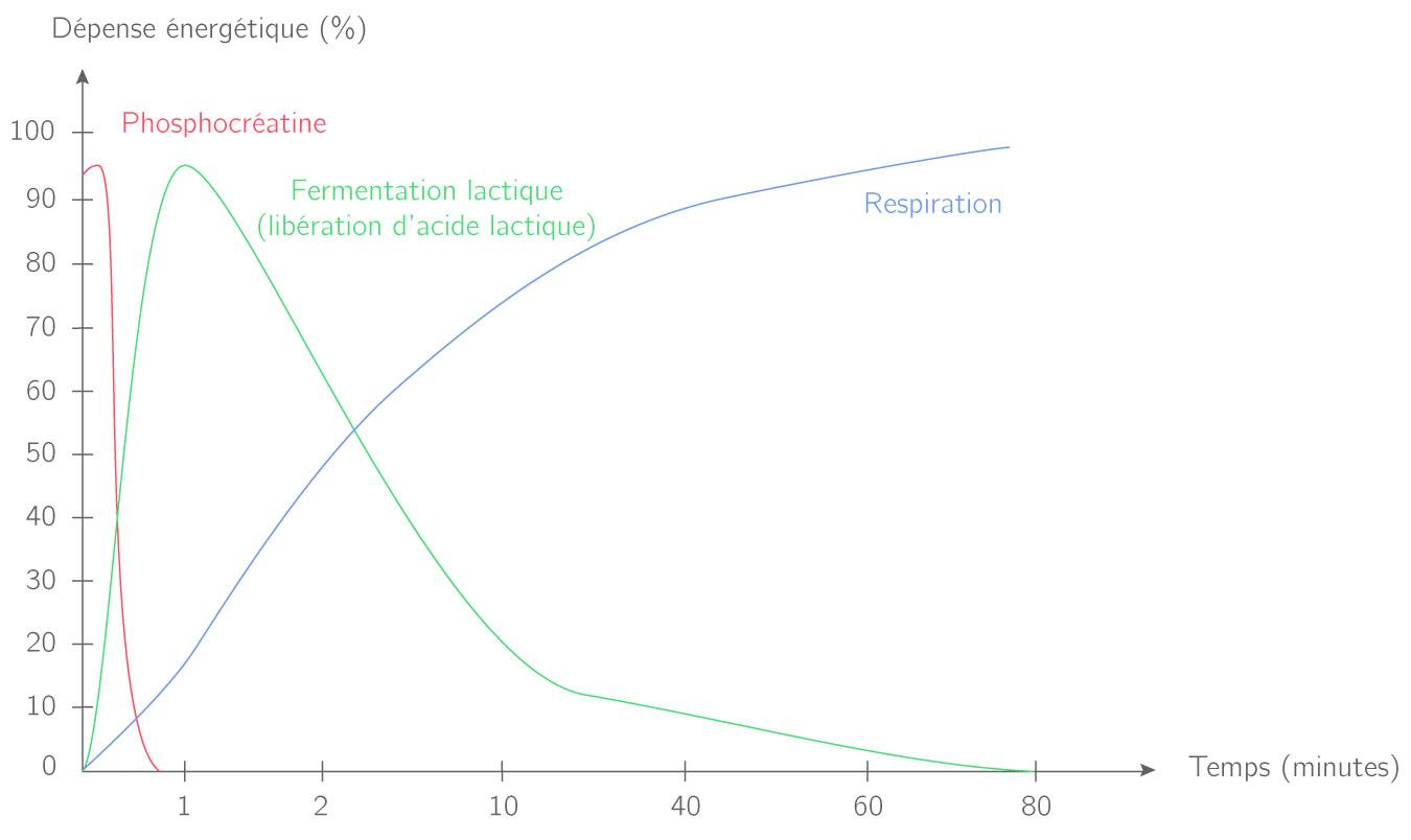 Utilisation des différentes voies métaboliques au cours du temps