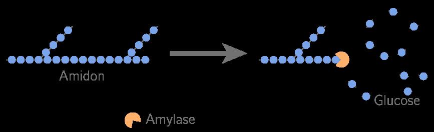 Principe de la digestion de l'amidon en glucose par l'amylase