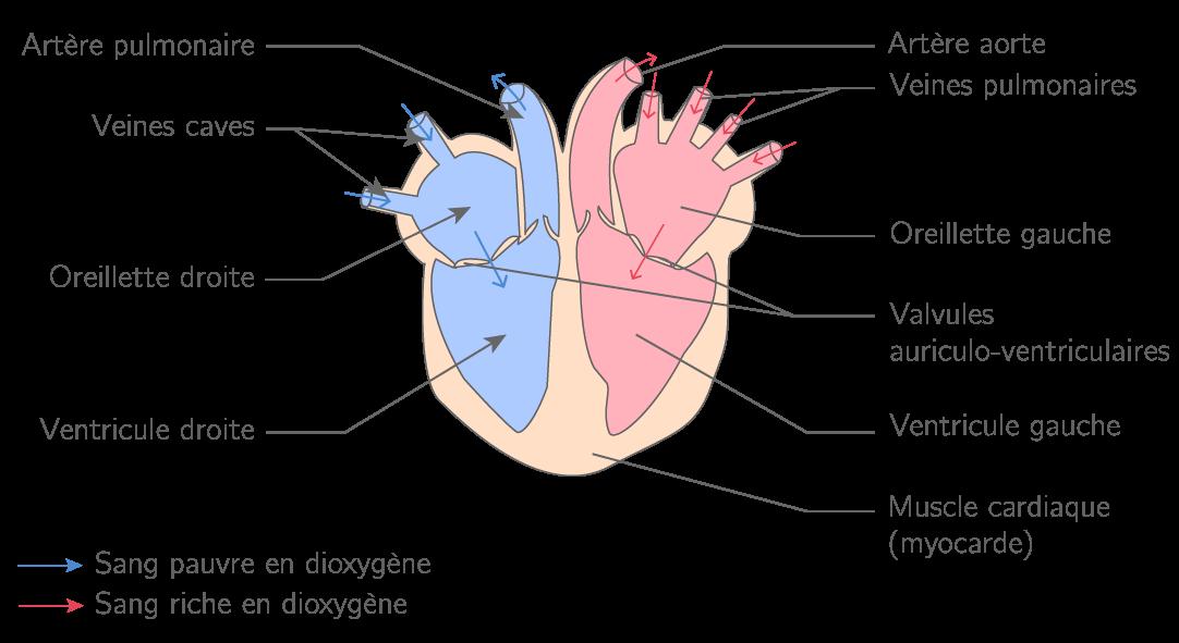 Le cœur et son organisation vasculaire