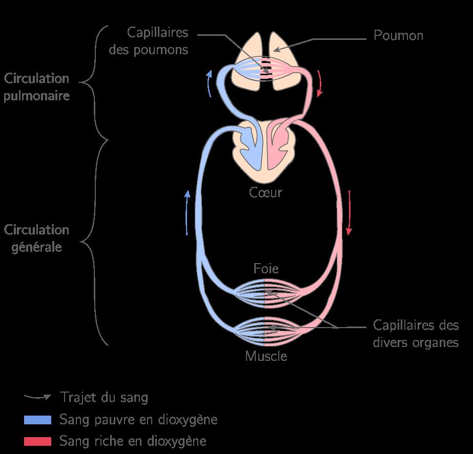 La double circulation en série de la circulation sanguine