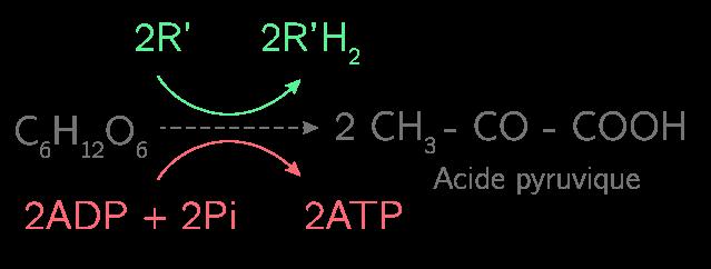 La glycolyse permet d'obtenir 2 ATP et 2 R'H2