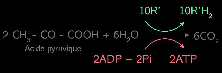 Le cycle de Krebs permet d'obtenir 2 ATP et 10R'H2 par la décarboxylation des 2 pyruvates