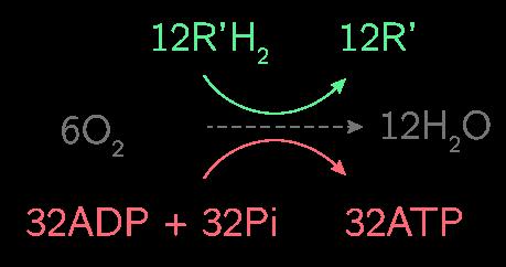 La chaîne respiratoire permet d'obtenir 32 ATP et 12R'