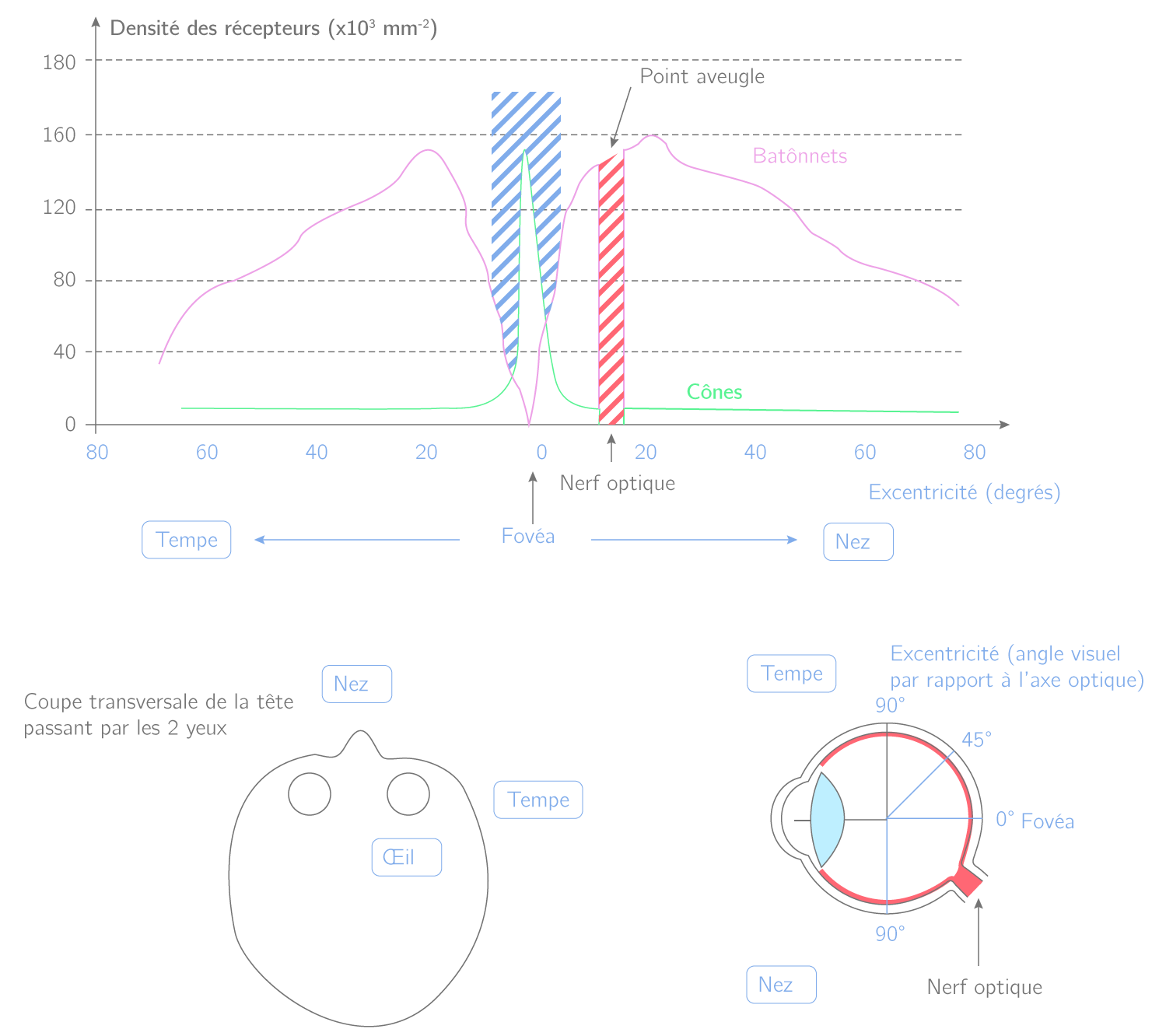 Répartitions des photorécepteurs le long de la rétine