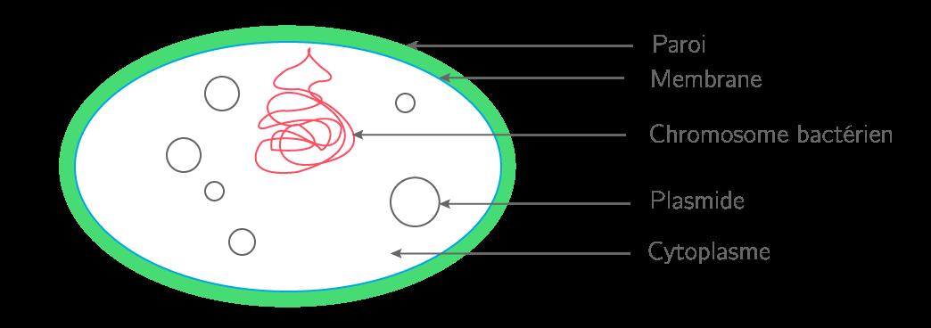 Schéma d'une bactérie