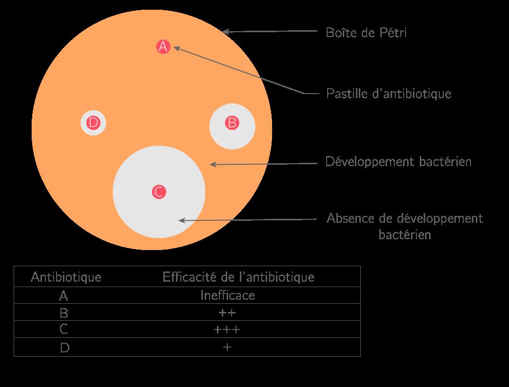Schéma d'un antibiogramme