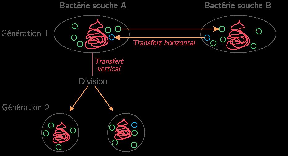 Schéma des transferts de gènes horizontaux et verticaux chez une bactérie