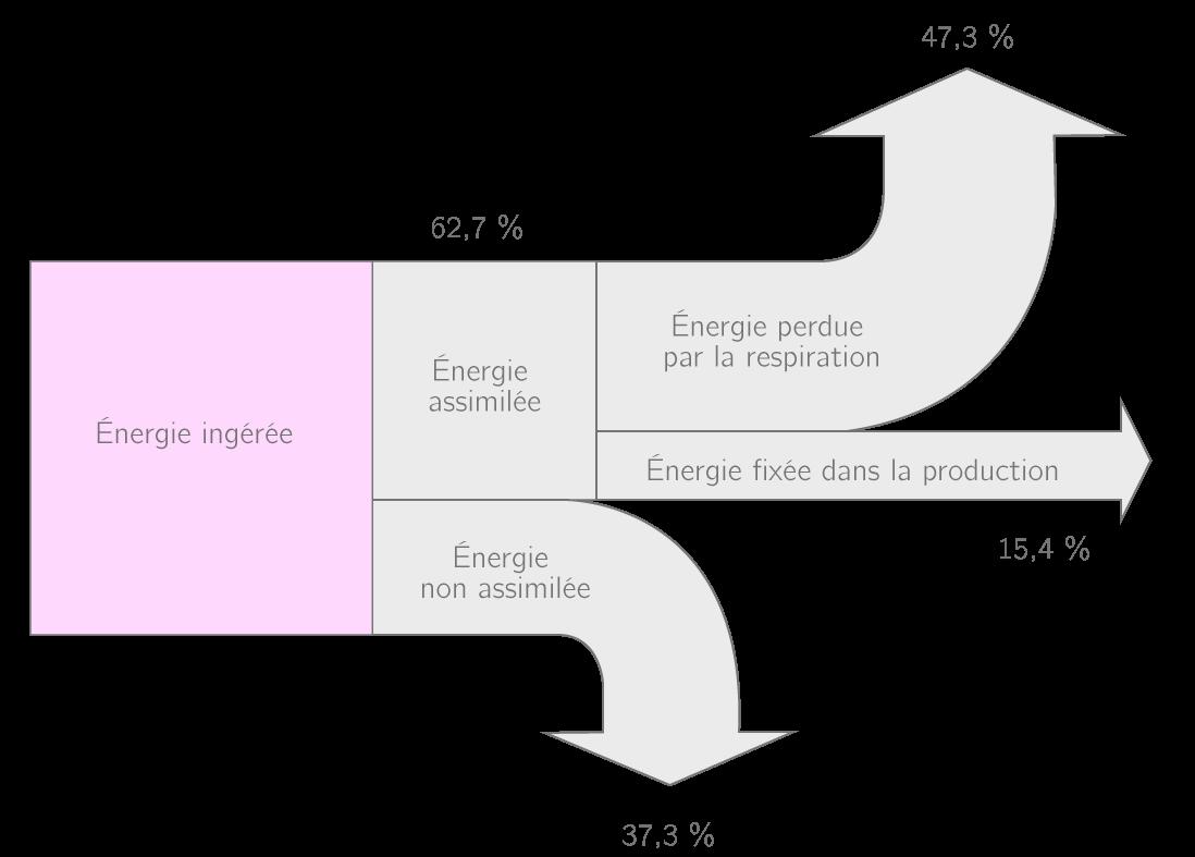 Mise en évidence des pertes énergétiques lors de l'alimentation d'un individu