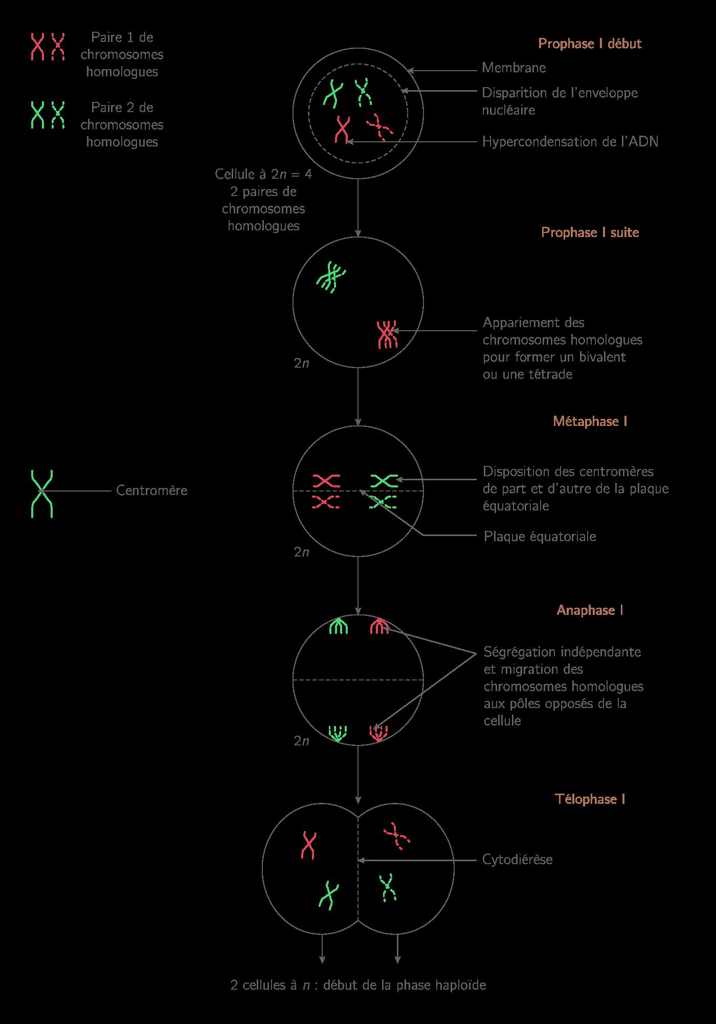 Les étapes de la première division de méiose