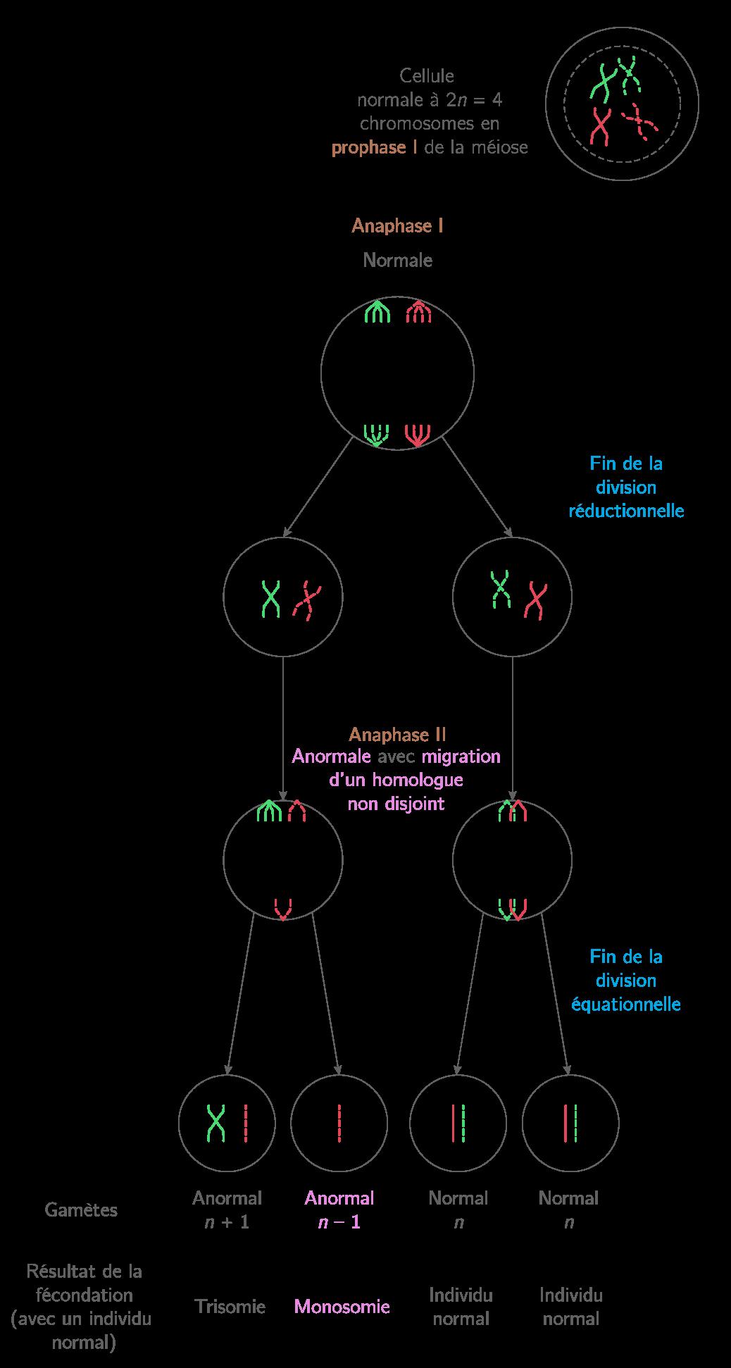 Schématisation d'une non-disjonction en anaphase 2