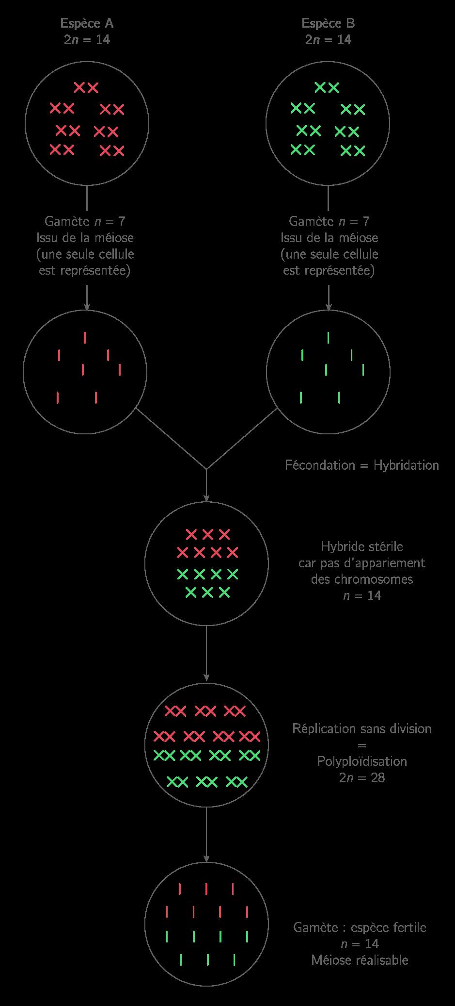La polyploïdisation