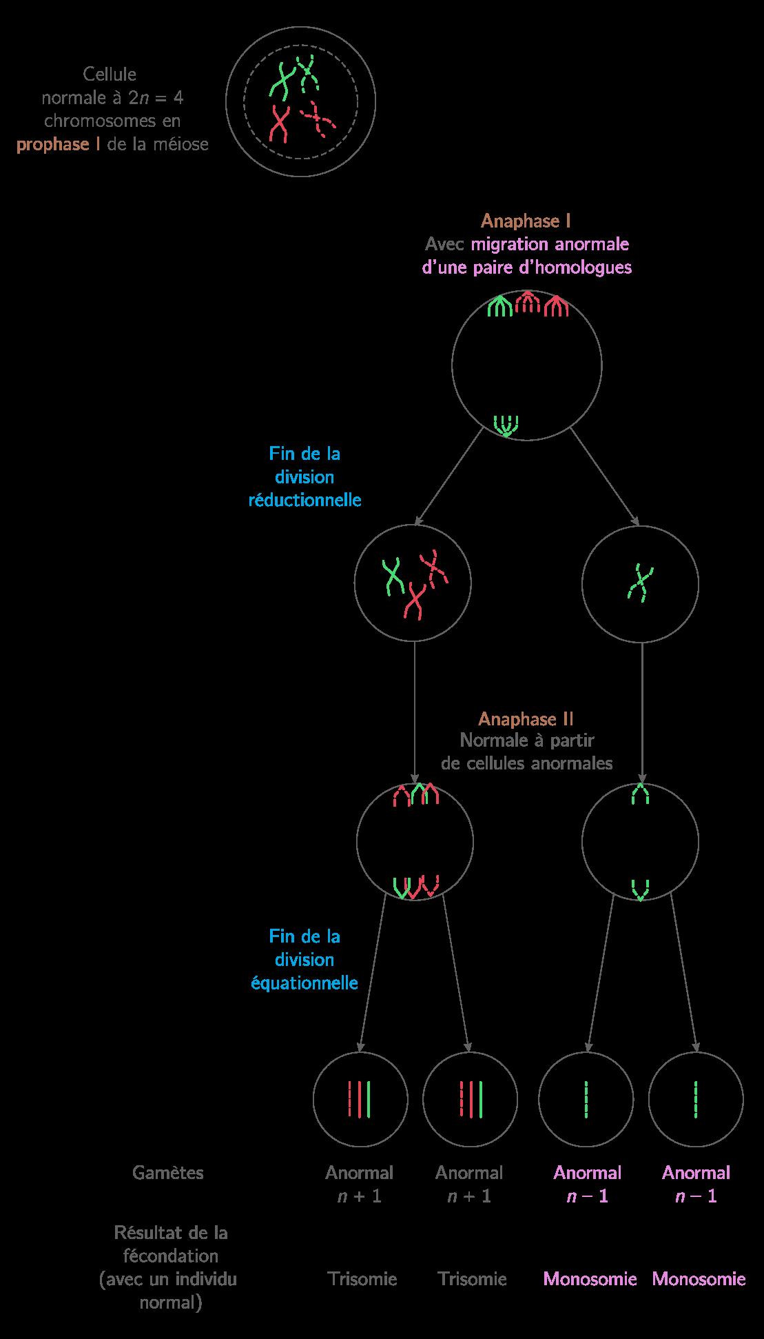 Schématisation d'une non-disjonction en anaphase 1