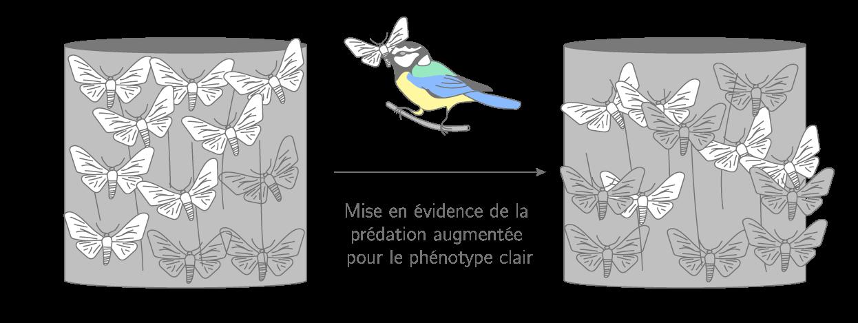 La sélection naturelle chez les phalènes du bouleau