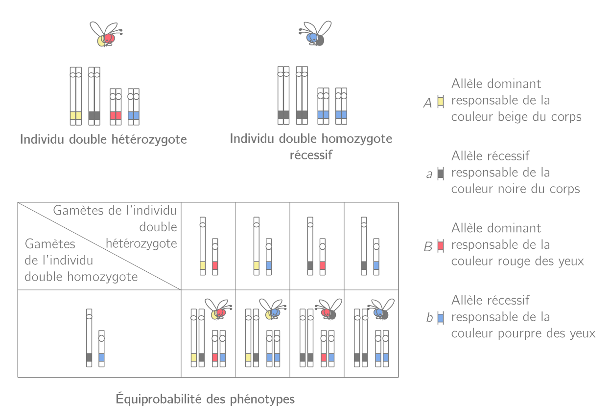 Croisement test pour des gènes non liés