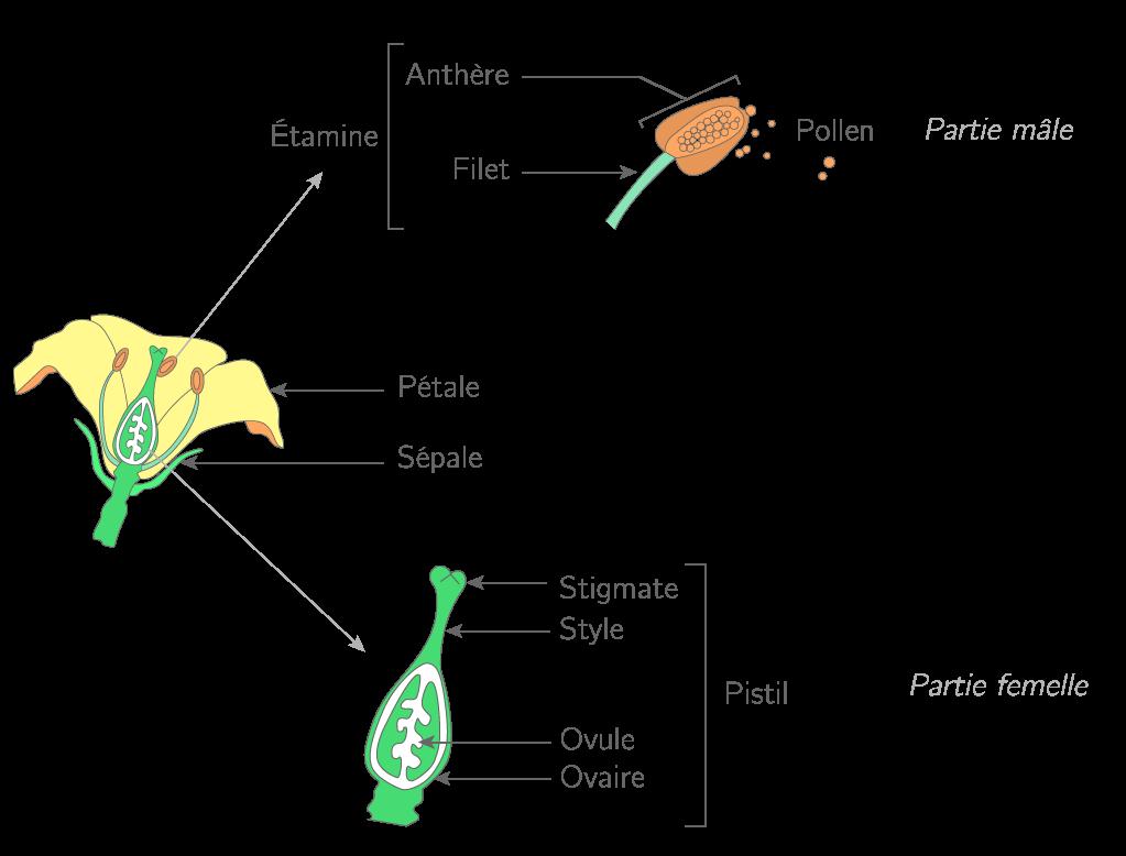 La structure de la fleur