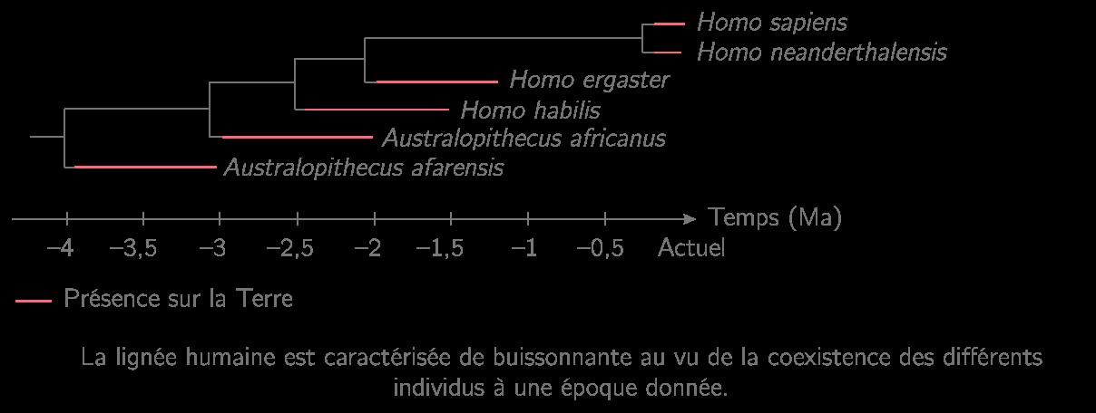 Arbre phylogénétique des Homininés