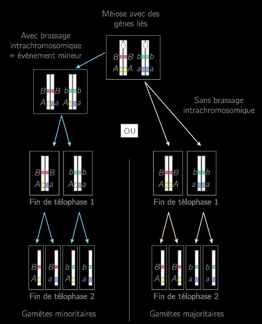 La formation de gamètes avec des gènes liés