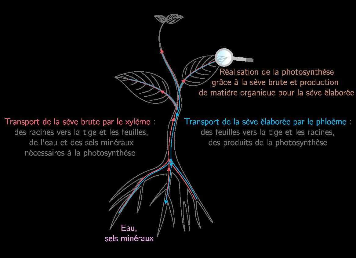 Les vaisseaux conducteurs des végétaux