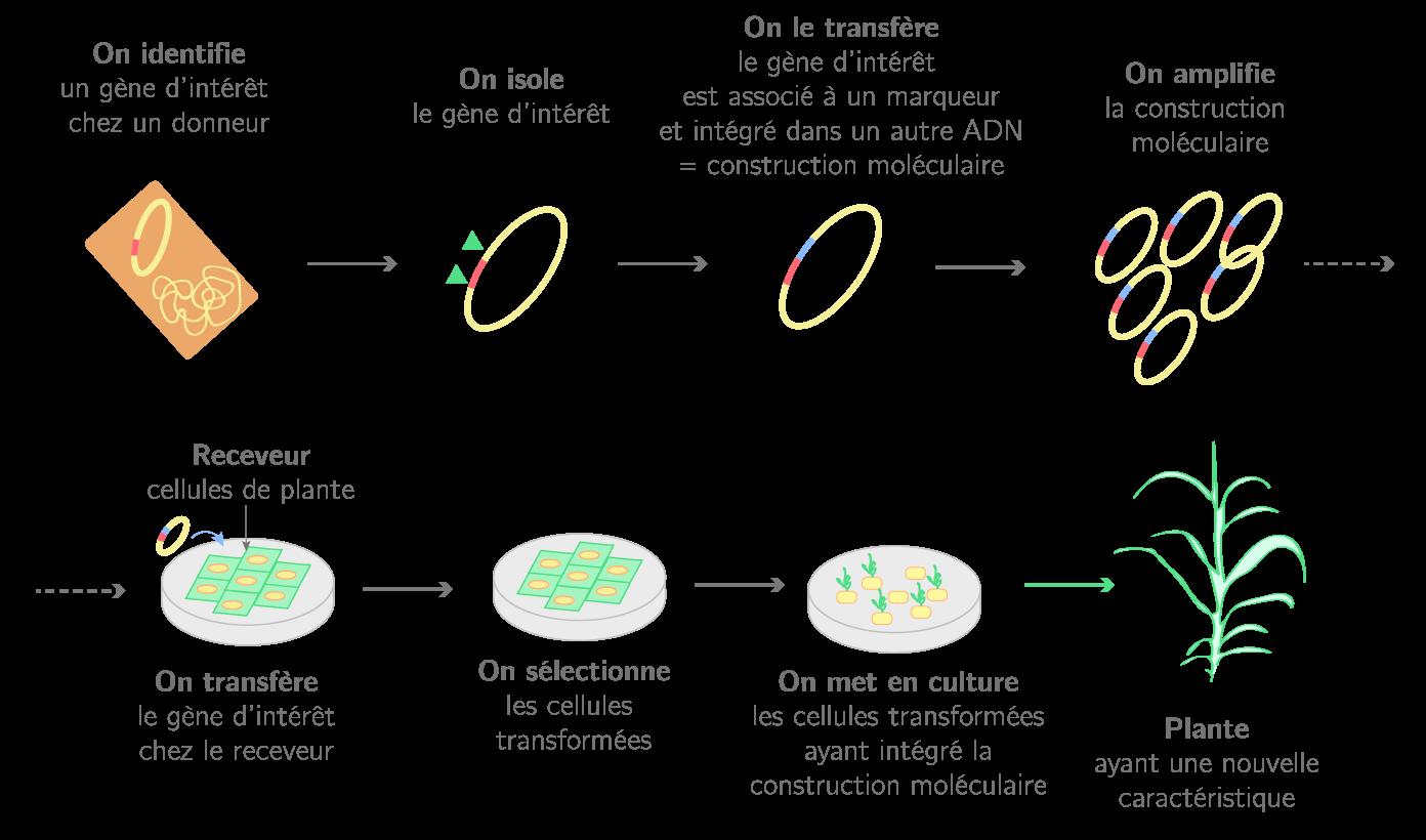 Les différentes étapes de la transgénèse