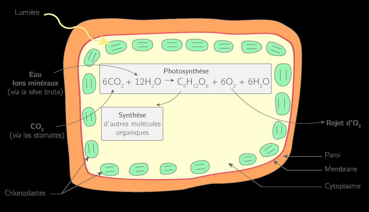 Le fonctionnement d'une cellule chlorophyllienne