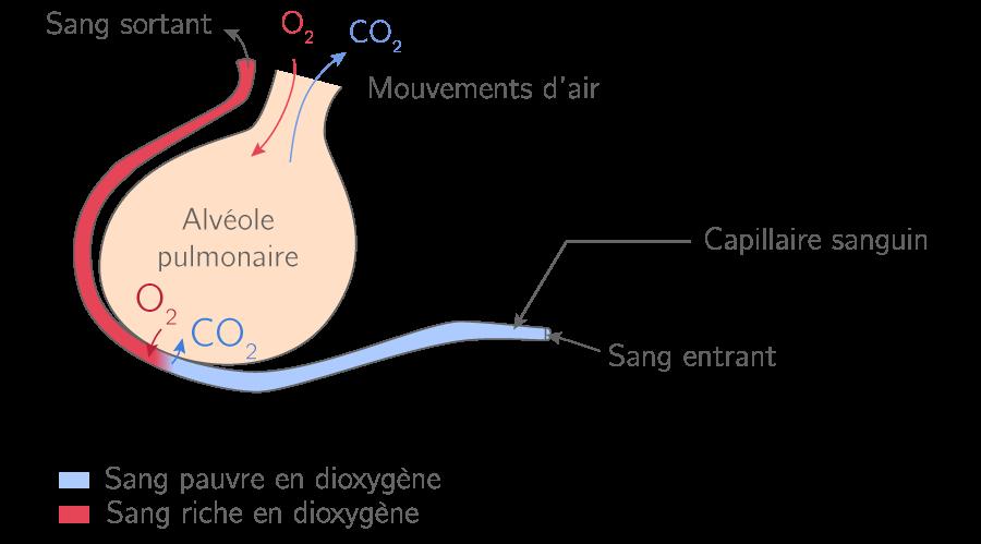 L'activité respiratoire se produisant dans une alvéole pulmonaire