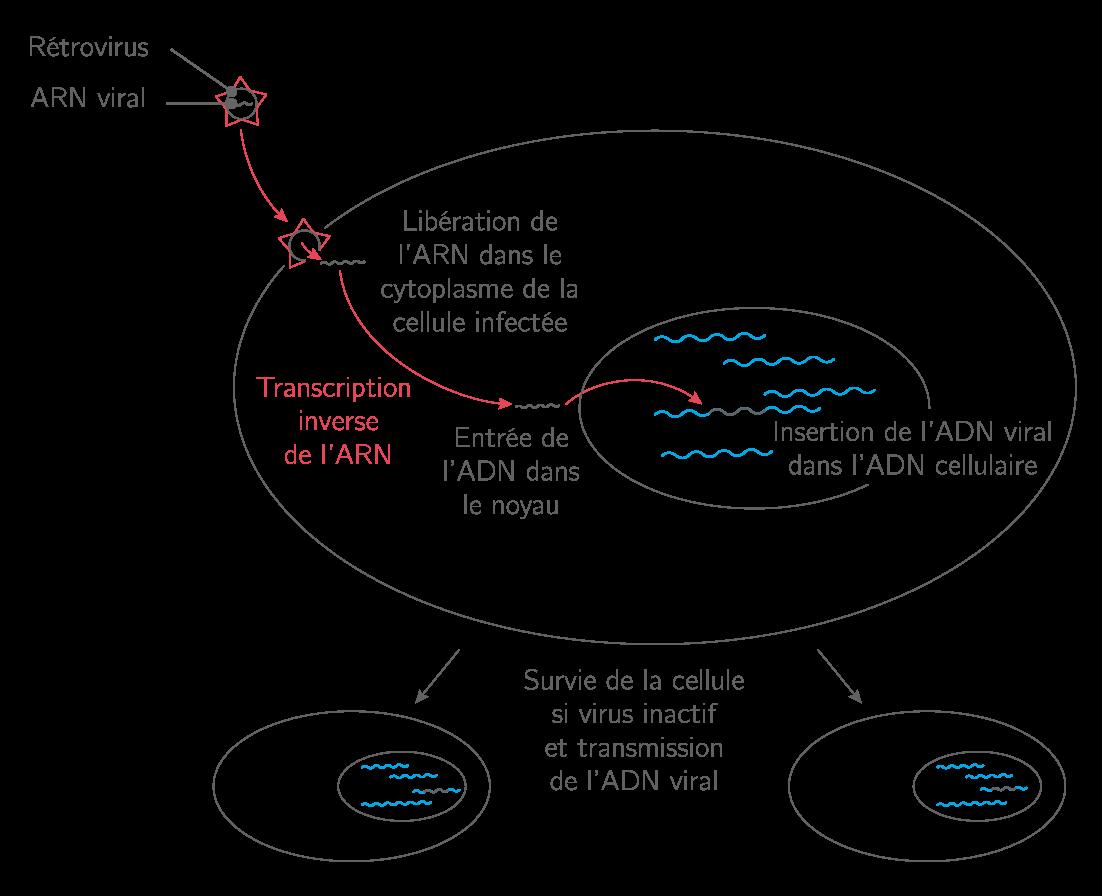 Transfert de gène par voie virale