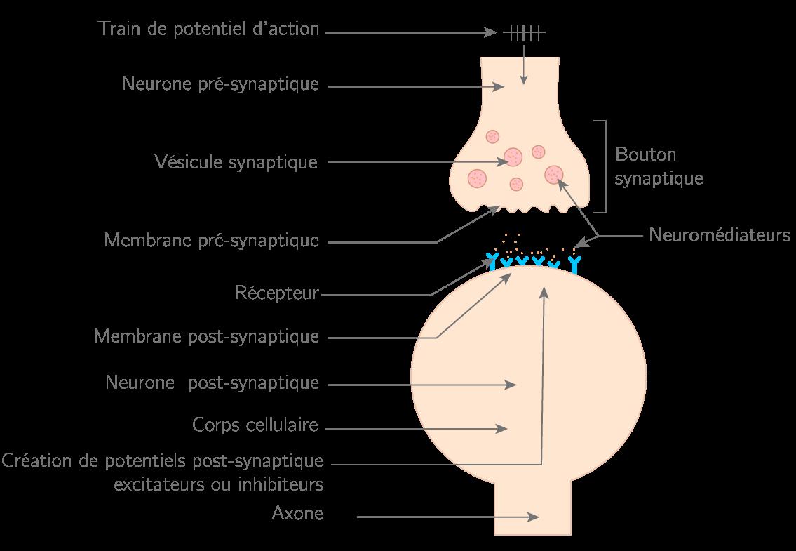 Synapse neuro-neuronale