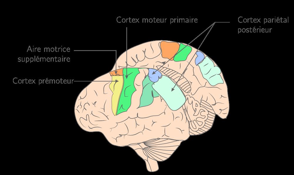 L'organisation du cortex moteur