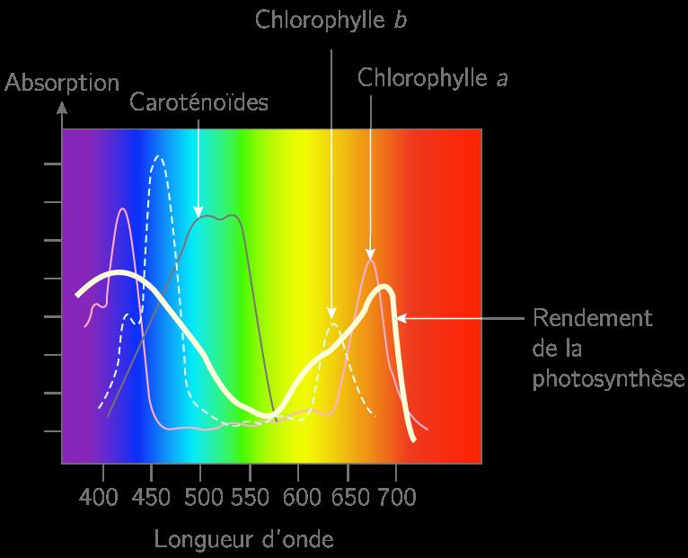 Différentes longueurs d'onde d'absorption des pigments photosynthétiques
