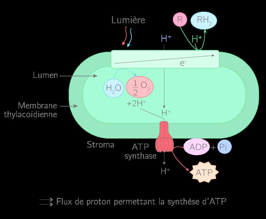 La phase photochimique de la photosynthèse